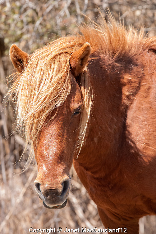 A cinnamon roan wild stallion has a thick winter coat on, Assateague Island, Maryland.