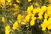 Female hairy dragonfly (Brachytron pratense) on gorse. Studland, Dorset, UK.