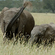 African Elephant ( Loxodanta africana) Adult with young. Serengeti National Park. Tanzania. Africa. February.