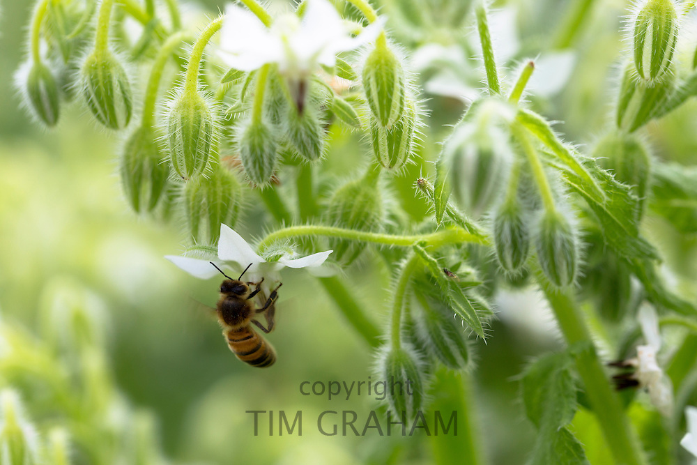Honey bee, Apis, gathering nectar from White Borage, Borago officinalis, in organic garden in Oxfordshire UK