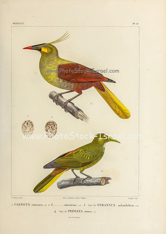 hand coloured sketch Top: Subspecies of Olive Oropendola (Psarocolius bifasciatus yuracares [Here as Cassicus yuracares]) Bottom: dusky-green oropendola (Psarocolius atrovirens [Here as Cassicus atrovirens]) From the book 'Voyage dans l'Amérique Méridionale' [Journey to South America: (Brazil, the eastern republic of Uruguay, the Argentine Republic, Patagonia, the republic of Chile, the republic of Bolivia, the republic of Peru), executed during the years 1826 - 1833] 4th volume Part 3 By: Orbigny, Alcide Dessalines d', d'Orbigny, 1802-1857; Montagne, Jean François Camille, 1784-1866; Martius, Karl Friedrich Philipp von, 1794-1868 Published Paris :Chez Pitois-Levrault et c.e ... ;1835-1847