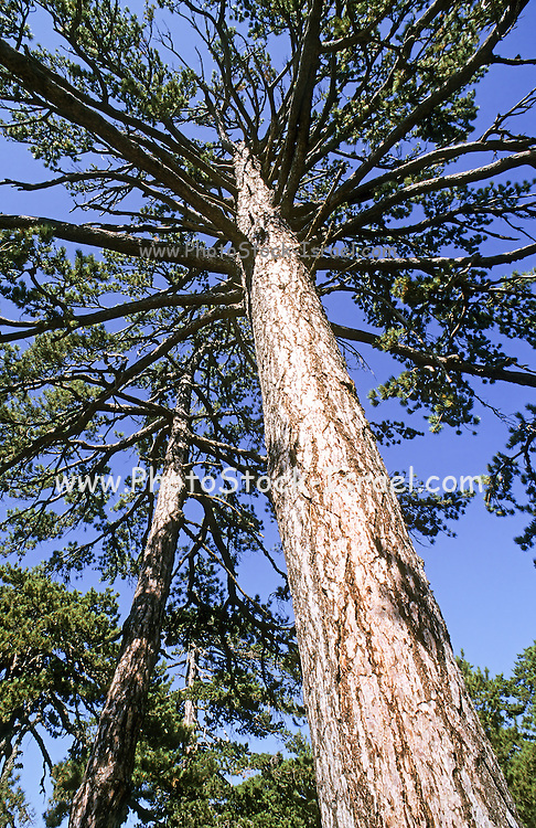 Cyprus, Troodos mountains, Black pine tree (Pinus nigra)