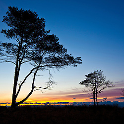 Pitch pines silhouetted against the morning sky at Odiorne Point State Park in Rye, New Hampshire.