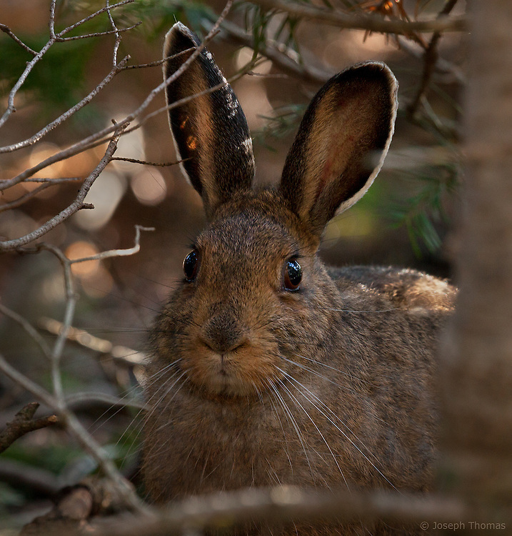 A snowshoe hare dons its summer coat.