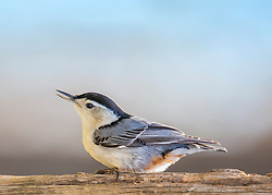 A Nuthatch taking a stroll along an old piece of wood