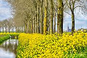 Nederland, the Netherlands, Batenburg, 30-4-2016Veld met bloeiend geel koolzaad  . Een sloot, afwateringssloot, loopt langs de weg, bomenrij  . Op de achtergrond het dorp, een officieel stadje, met haar kerk en molen  .FOTO: FLIP FRANSSEN/ HH