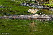 The greens of the meadow grasses reflected in the shallow creek, creating a tranquil setting.  I was looking for someway to capture this scene when an American Pipit began to work along the bank.  I waited until it went out on the log to capture its reflection in addition to the meadow plants.