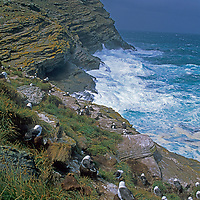 Black-browed albatross nest in a rookery above surf on West Point Island, part of the Falkland Islands.