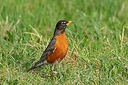 American robin (Turdus migratorius) on grass<br />Beaconia Beach<br />Manitoba<br />Canada