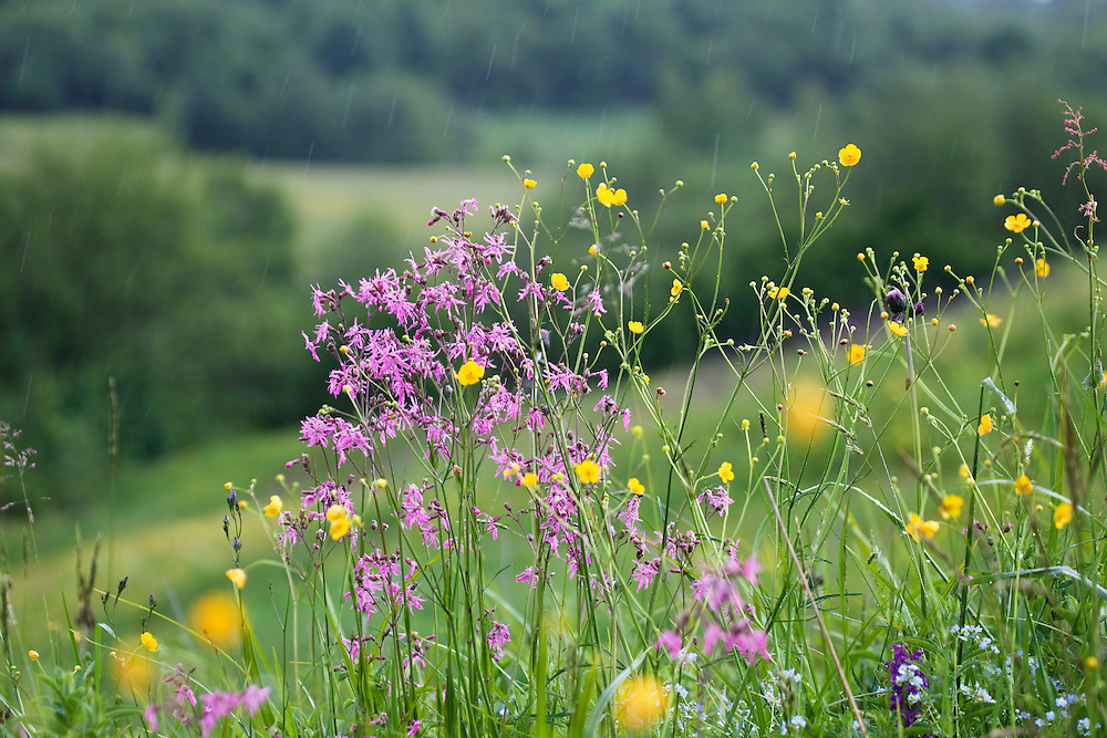 Ragged Robin, Lychnis flos-cuculi, Poloniny National park, Western Carpathians, Eastern Slovakia, Europe