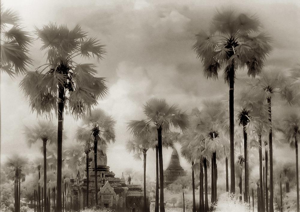 Sugar Palms and Temple Ruins - Bagan, Myanmar.