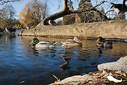 Mallards (Anas platyrhynchos) and Canada Geese (Branta canadensis) at a city park in Portland, Oregon.