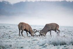 © Licensed to London News Pictures. 25/11/2017. London, UK.  Deer lock antlers while rutting in a frost covered landscape at Richmond Park, London at sunrise on November 25, 2017 as a drop in temperatures hits the UK. Photo credit: Ben Cawthra/LNP