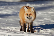 Red fox in snow during winter