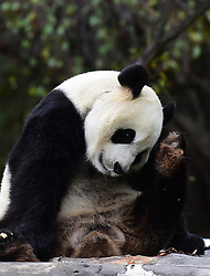 CHANGCHUN, Oct. 4, 2016 (Xinhua) -- Giant panda ''Meng Meng'' scratches its head at the panda hall of Siberian Tiger Park in Changchun, northeast China's Jilin Province, Oct. 4, 2016. Giant pandas ''Meng Meng'' and ''Jia Jia'' attracted a large number of tourists during the National Day holiday. (Xinhua/Lin Hong)(mcg) (Credit Image: © Lin Hong/Xinhua via ZUMA Wire)