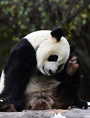 China - Giant Panda's At Siberian Tiger Park - 04 Oct 2016