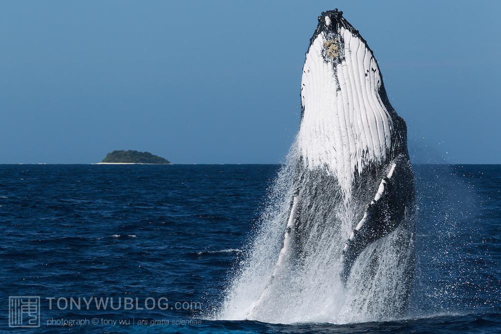 Humpback whale (Megaptera novaeangliae) breaching. Photographed in Vava'u, Kingdom of Tonga.