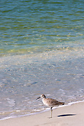 Willet, Tringa semipalmata, one of the shorebirds, standing on one leg on the beach shoreline at Captiva Island, Florida USA