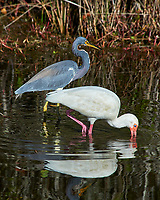 White Ibis (Eudocimus albus) and Tricolored Heron (Egretta tricolor). Black Point Wildlife Drive, Merritt Island Wildlife Refuge. Merritt Island, Brevard County, Florida. Image taken with a Nikon D3 camera and 80-400 mm VR lens.