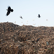 Birds flying above the dump. A visit to one of the main garbage dump. With 15 millions population in 2019 and growing, the city of Calcutta is a typical case of expansion through uncontrolled urbanization.