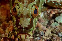 Flag Cabrilla Grouper (Epinephelus labriformis)<br /><br />Coiba Island, <br />Coiba National Park, Panama<br />Tropical Eastern Pacific Ocean<br /><br />Twin Peaks dive site