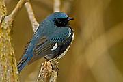 Black-throated blue warbler (Dendroica caerulescens)<br />Point Pelee National Park<br />ONTARIO<br />Canada
