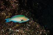 Blue-chin Parrotfish (Scarus ghobban)<br /> GALAPAGOS ISLANDS,<br /> Ecuador, South America