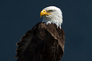 Bald eagle, Haliaeetus leucocephalus, Tofino, Clayoquot Sound, British Columbia, Canada, North America