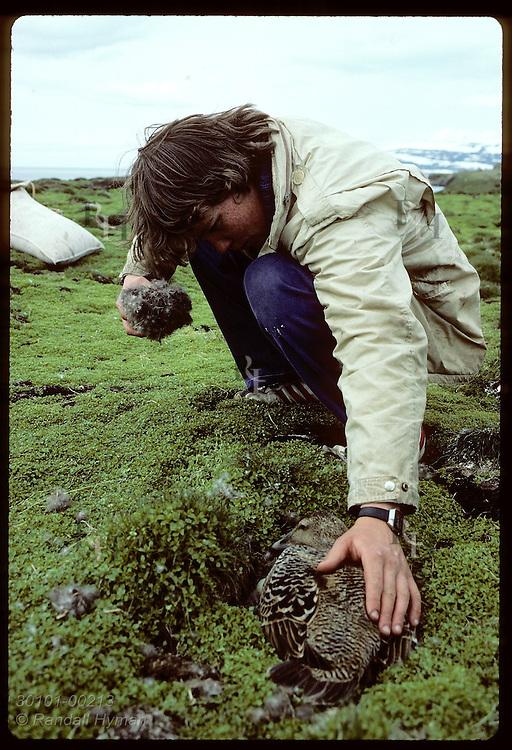 Bjarni Baldursson of Vigur Island's family pets eider duck after taking down from nest in June. Iceland
