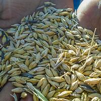 Oat Harvest by Deretu Lama