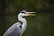 Grey Heron, Ardea Cinerea on the bank of the Tolka River, by Fairview Park in Dublin today (13/02/2009).