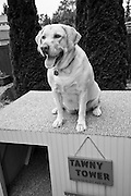 USA, Oregon, Keizer, Labrador Retriever on dog house built so that she can climb on top of it