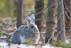 Snowshoe Hare, Yellowstone National Park