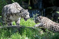 13.08.2015, Zoo, Koeln, GER, Schneeleoparden Nachwuchs, im Bild Der kleine Schneeleoparden Kater Barid bei seinem ersten Ausflug ins Freigehege mit seiner Mutter Siri // the little snow leopard barid in his first excursions at the Zoo in Koeln, Germany on 2015/08/13. EXPA Pictures © 2015, PhotoCredit: EXPA/ Eibner-Pressefoto/ Schueler - Pressefoto<br /> <br /> *****ATTENTION - OUT of GER*****