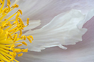 tree peony flower closeup (Paeonia suffruticosa)