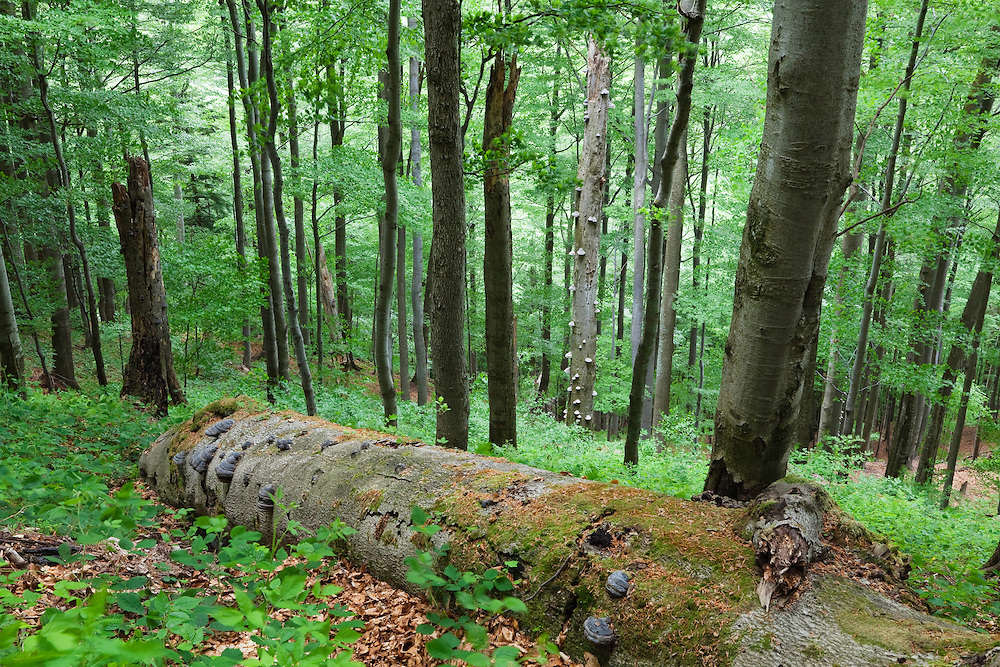 Beech Forest, Fagus sylvatica, Stuzica primeval Forest, Unesco World Heritage Site, Poloniny National park, Western Carpathians, Slovakia, Europe
