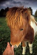 Miniature Horses at Quicksilver Ranch, Los Olivos, Santa Barbara County, California
