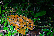 A large leaf is being broken down at the forrest floor of the rainforest in eastern Ecuador.