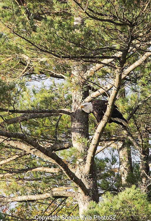 Bald Eagle ready to fly at Lake Morey