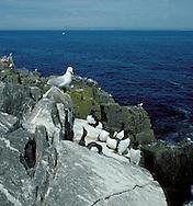 Seabird Cliffs, Craigleith