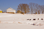 Farm and cattle landscape, snow, Cumru Township, Berks Co. PA
