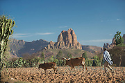 Farmer and cows near Hawzen, Gheralta area, Tigray, Ethiopia, Horn of Africa