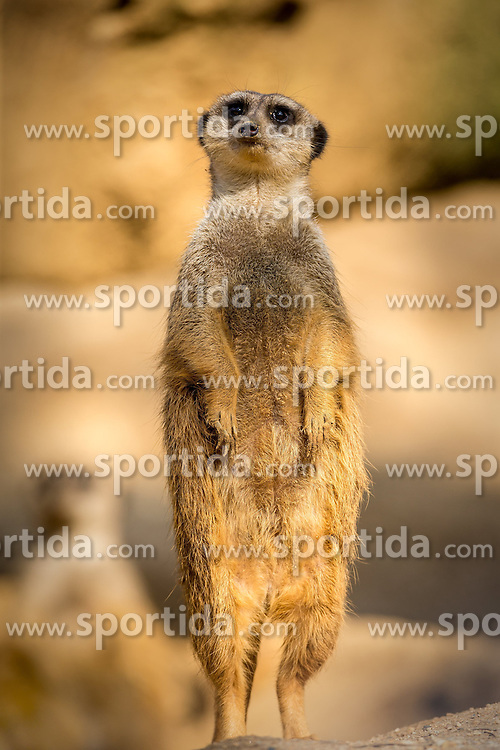 01.04.2016, Zoo, Duisburg, GER, Tiere im Zoo, im Bild Erdmaennchen haelt stehend Wache, // during visit to the Zoo. Duisburg, Germany on 2016/04/01. EXPA Pictures © 2016, PhotoCredit: EXPA/ Eibner-Pressefoto/ Hommes<br /> <br /> *****ATTENTION - OUT of GER*****