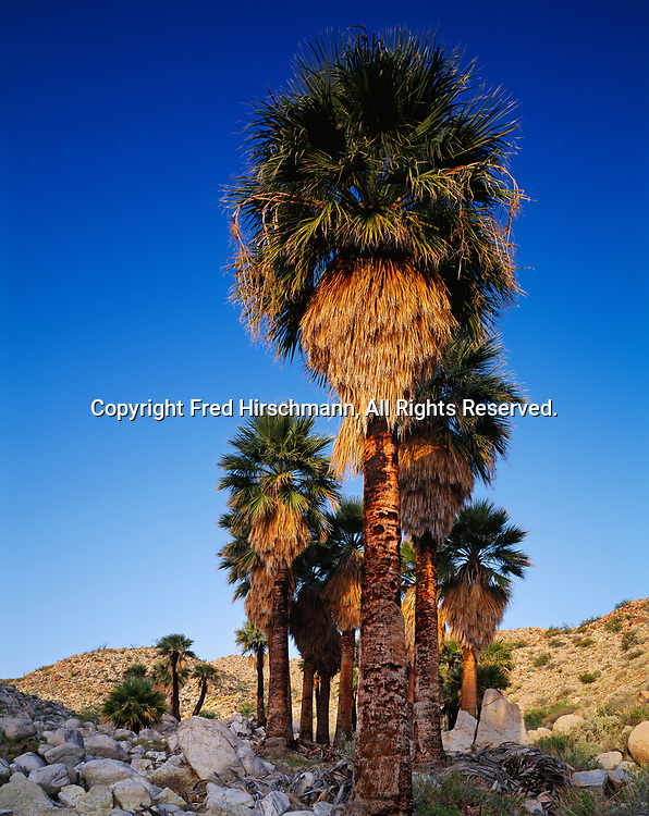 California fan palms, Washingtonia filifera, Mountain Palm Springs, Anza-Borrego Desert State Park, California.