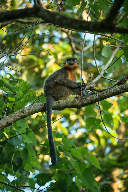 Capped langur (Trachypithecus pileatus) <br /> Nameri Wildlife Reserve<br /> Assam<br /> North East India<br /> RANGE: Bangladesh, Nepal, Bhutan, China, India, and Myanmar