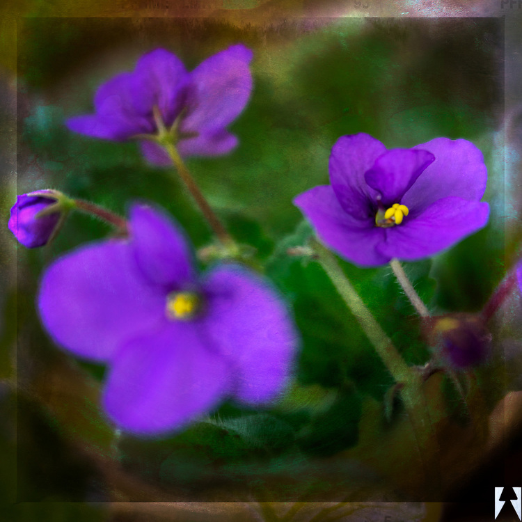 African Violets taken with a LensBaby Velvet 56 macro lens blended with a texture layered in a grunge frame.