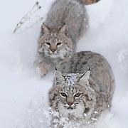 Bobcats running in the Bridger Mountains of Montana. Captive Animal