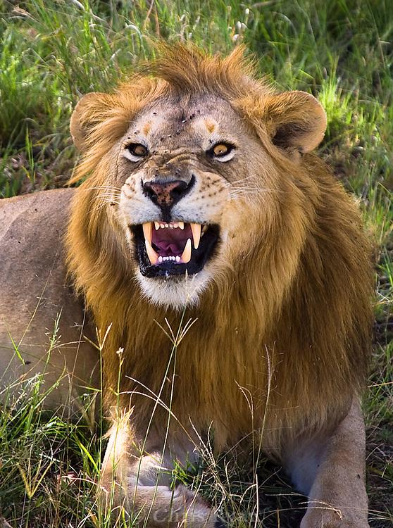 Male lion baring his teeth, Serengeti National Park, Tanzania