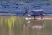 A captive woodland caribou (Rangifer tarandus caribou) splashes water as it crosses a pond at Northwest Trek Wildlife Park near Eatonville, Washington.