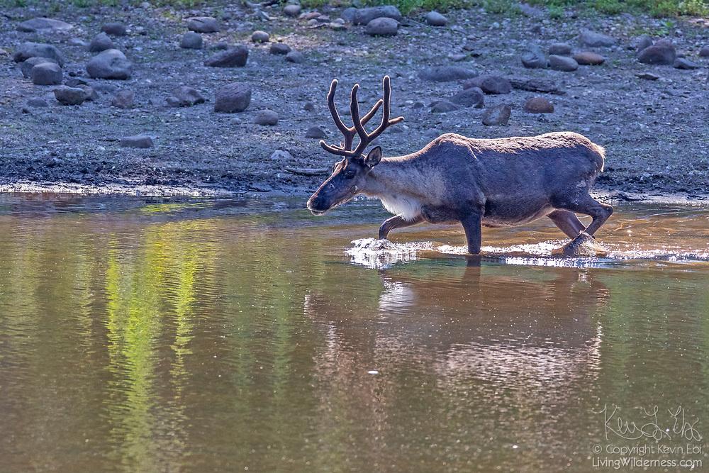 A captive woodland caribou (Rangifer tarandus caribou) splashes water as it crosses a pond at Northwest Trek Wildlife Park near Eatonville, Washington.